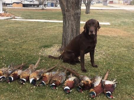 Late Season Pheasants In Montana
