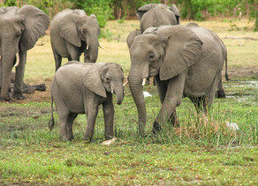 Elephant became Collateral Damage in the Fight against Crop Raiding Boars