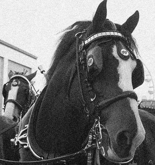 800px-Horses_2.jpg