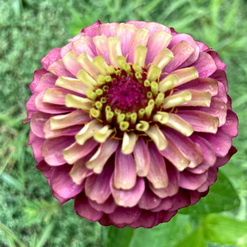 Zinnia - Queen Red Lime (Bunch of 10)