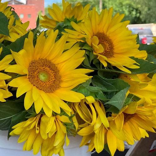 Sunflower - ProCut Gold (By the Stem)