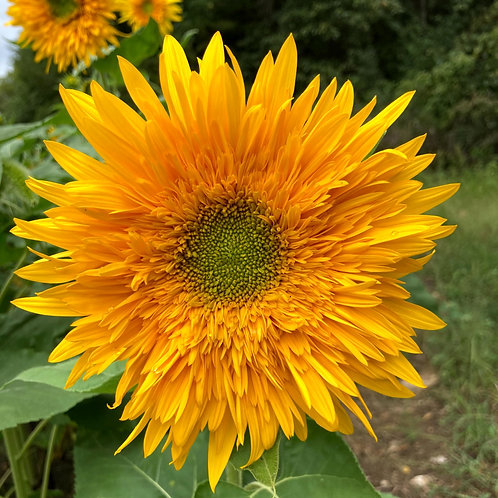 Sunflower - Double Quick Orange (By the Stem)