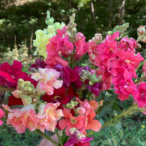 Snapdragon - Butterfly Mix (Bunch of 10)