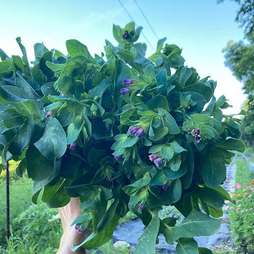Honeywort (Bunch of 10)