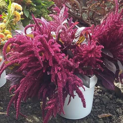 Amaranth - Red Spike (Bunch of 10)