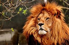 lion-3372720.jpg