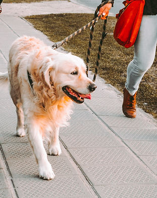 Dog enjoying his walk with the dog walker/pet sitter.jpg