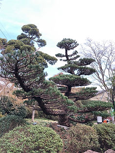 松の木の手入れ