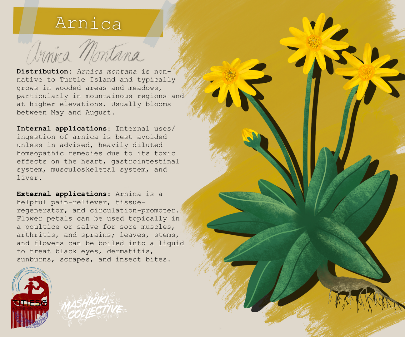 Arnica TW.png