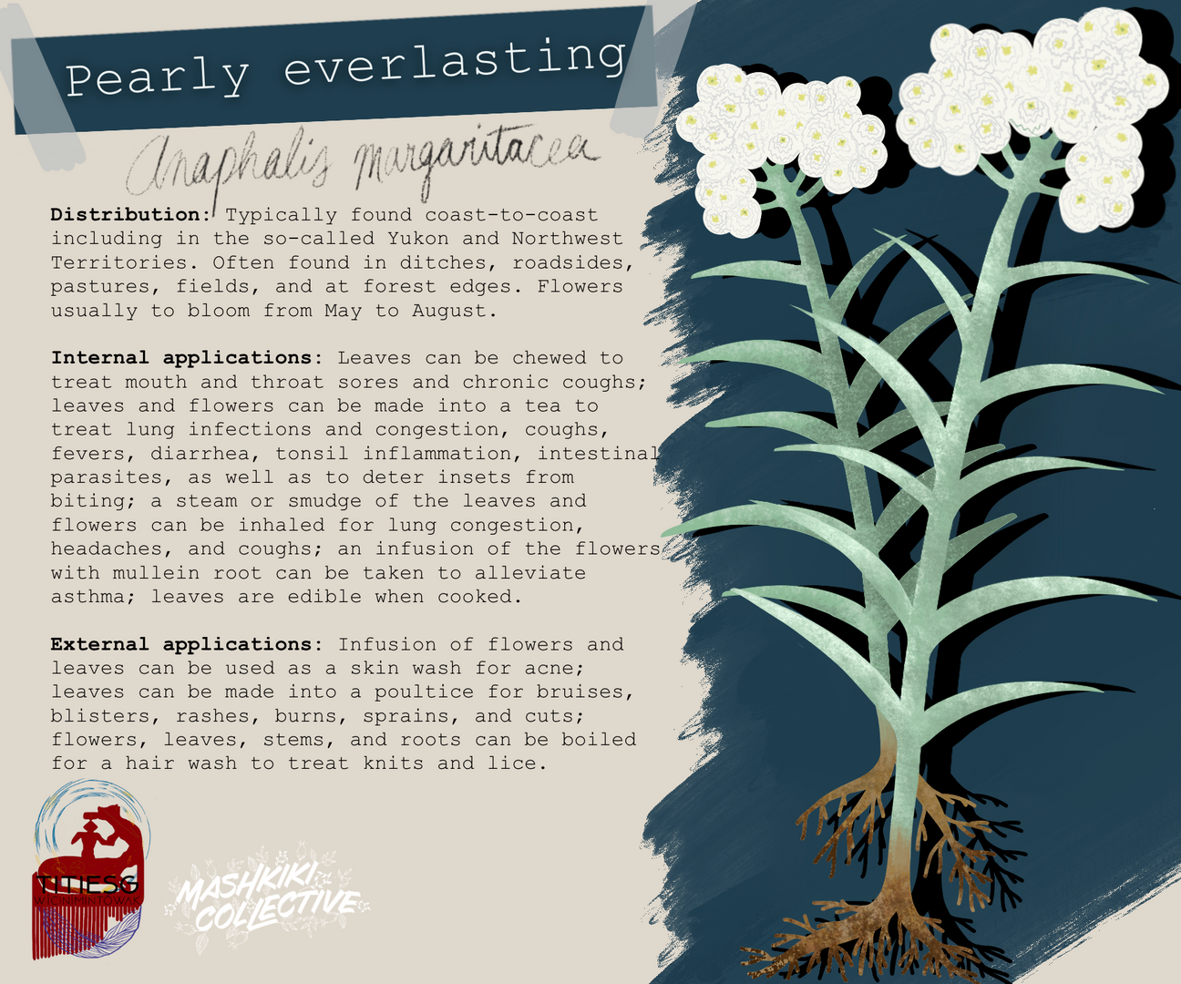 Pearly Everlasting TW.png