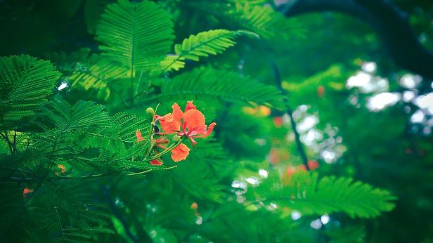 firetree pic1.jpg