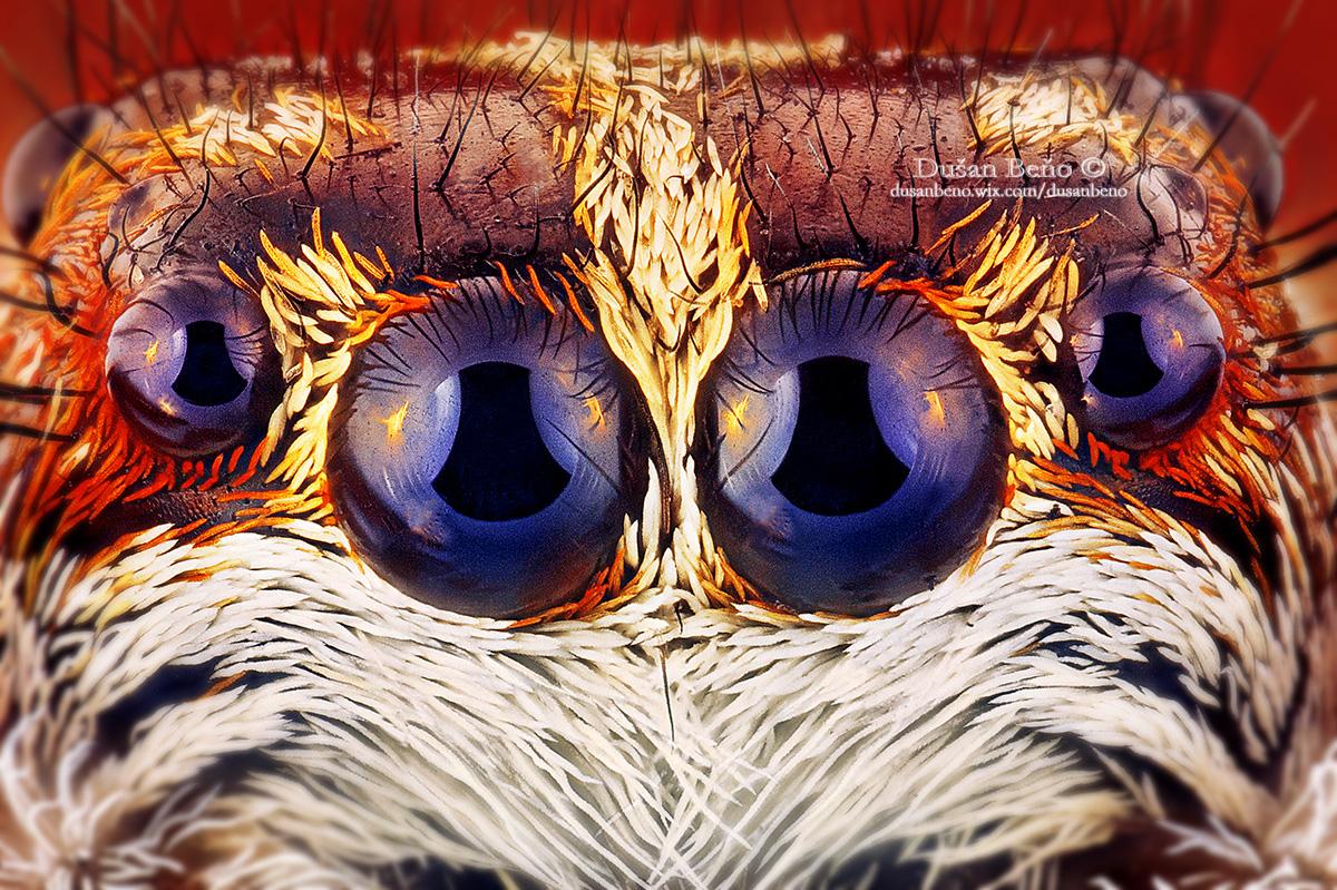 Jumping spider - eyes