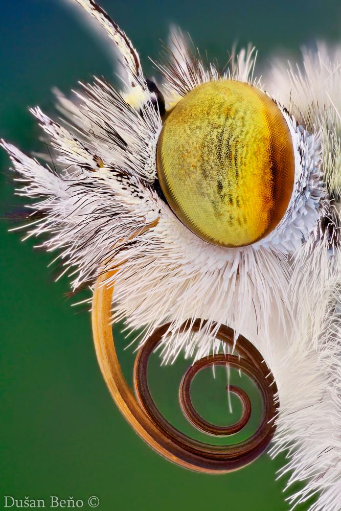mlynárik kapustový