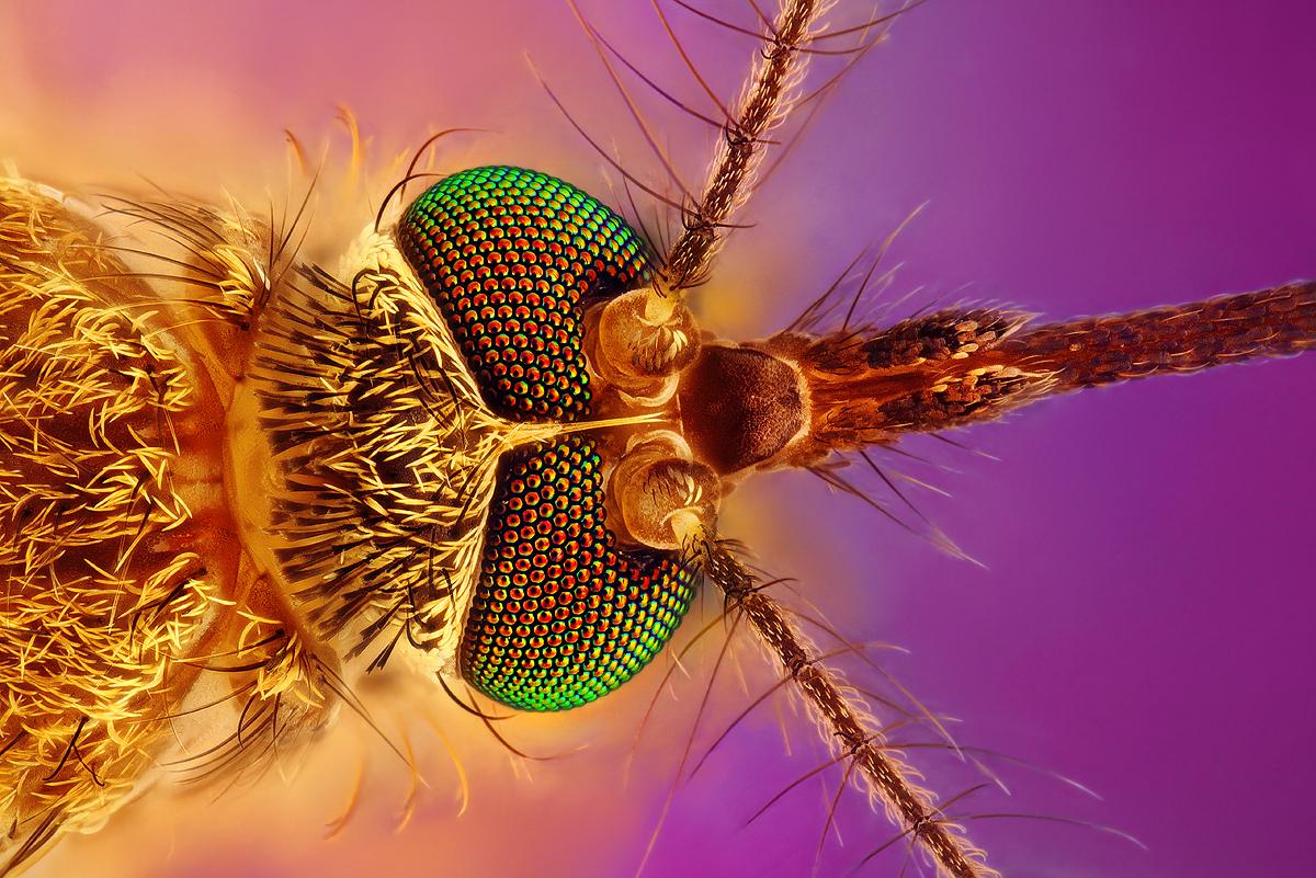 Komár (Mosquito)