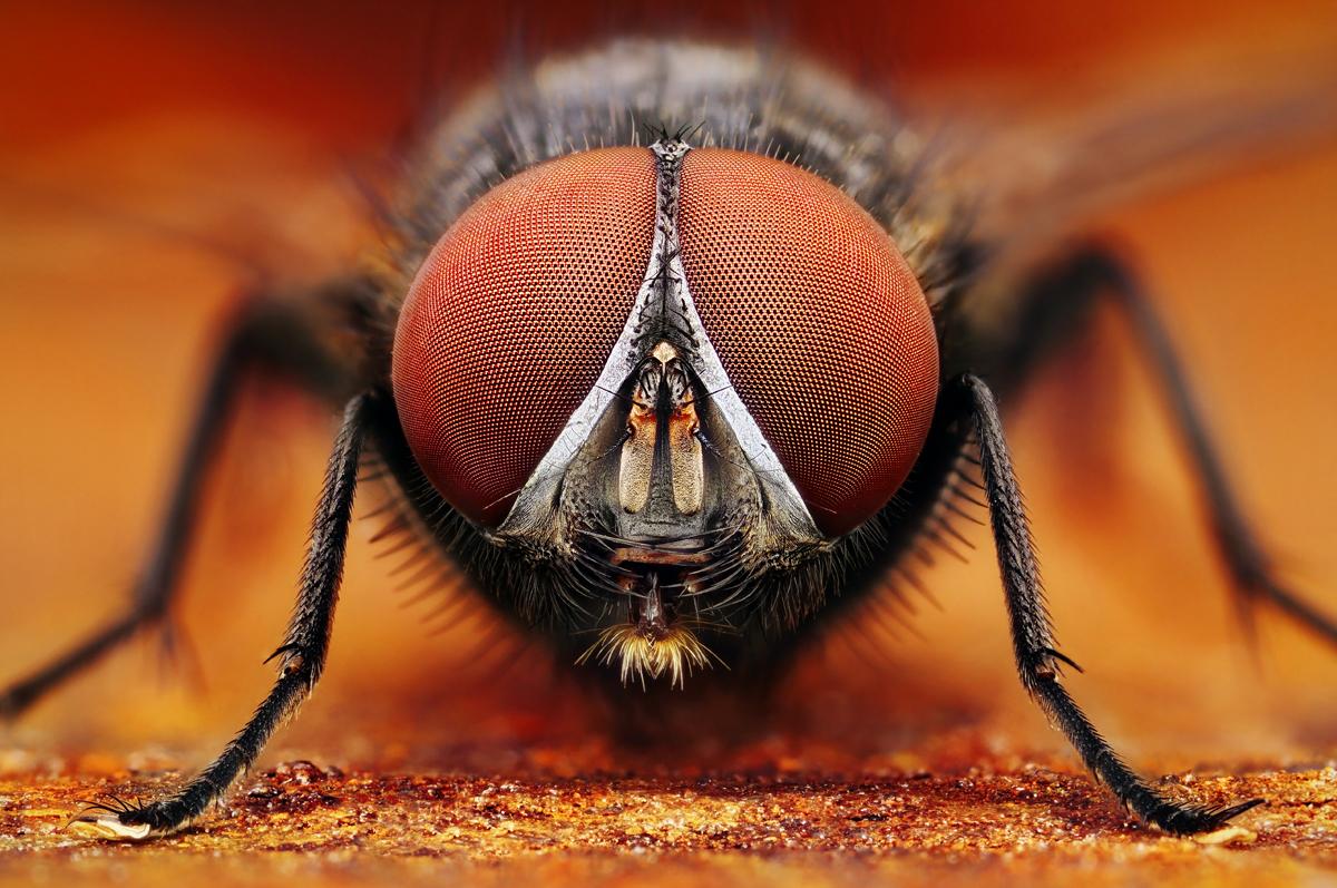 Mucha (fly)