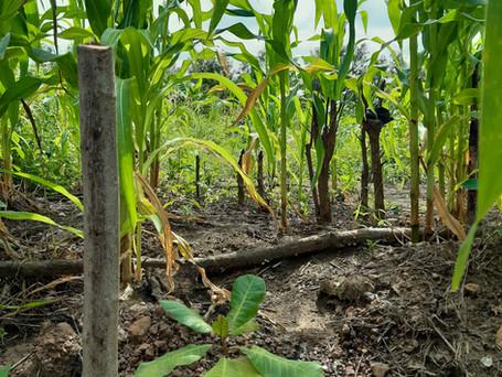 Tain II Forest Landscape Restoration Programme