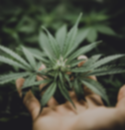 Cannabis_Care_Hand.png
