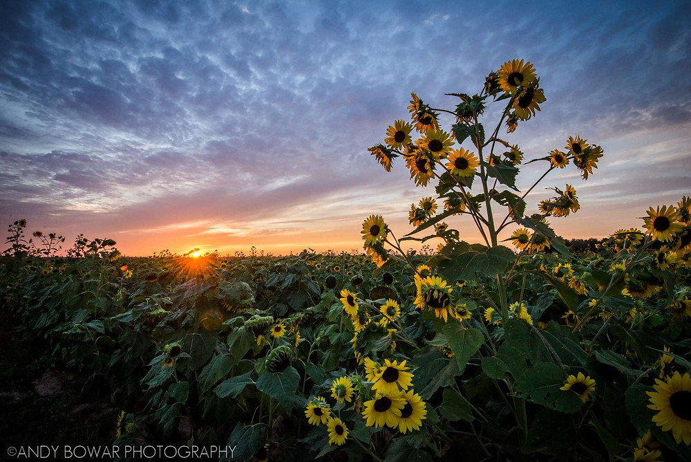 A field of sunflowers with a sun low on the horizon. Clouds are a mix of orange, pink, purple, and blue.
