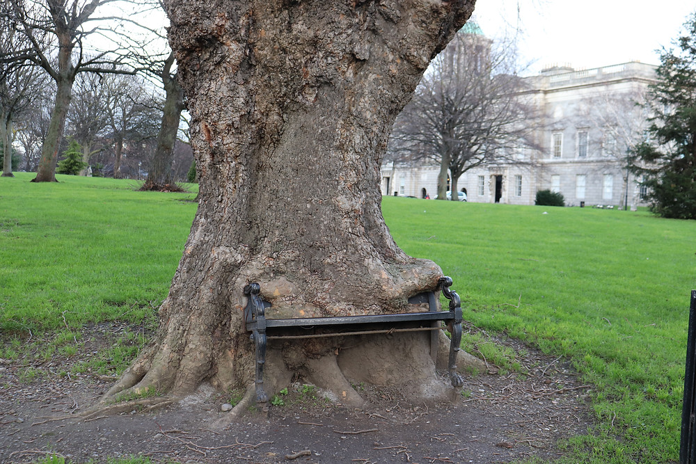 Bench stuck in a tree known as The Hungry Tree in Dublin Ireland