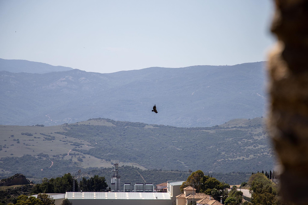 View of a large vulture flying from a viewpoint in Casares with hills in the background.