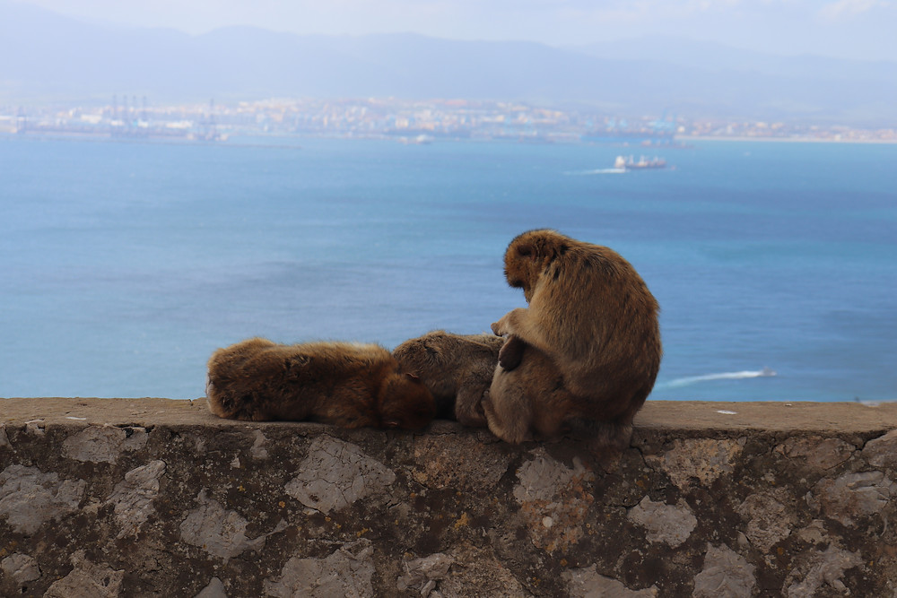 Group of monkeys sitting on top of the rock of gibraltar