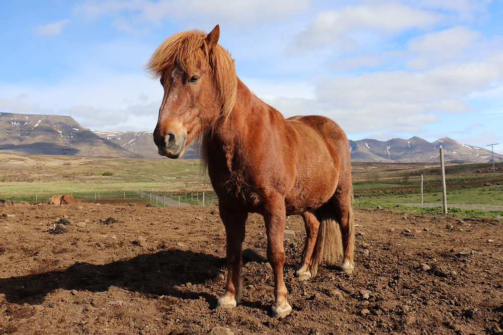 Icelandic horse in a field in iceland