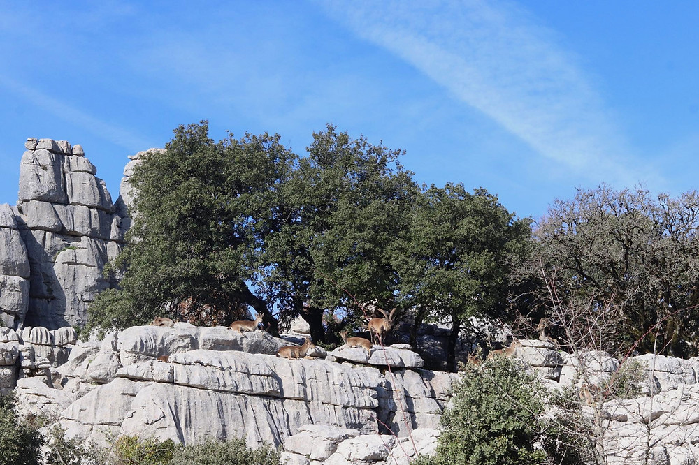 Herd of wild goats sitting on the top of one of the limestone rocks along the route at El Torcal.