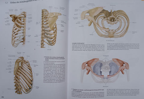 Schultergürtel.JPG