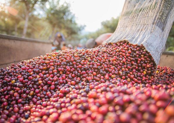 A kávé termést vászonzsákból kiöntik a többi betakarított kávégyümölcshöz- Frisse pörkölt szemes kávé rendelésre