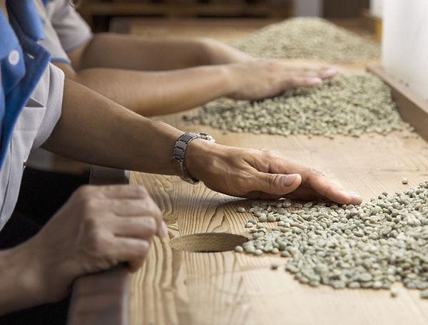 Egy munkás kézzel válogatja a zöld kávészemeket - Frissen pörkölt szemes kávé rendelés