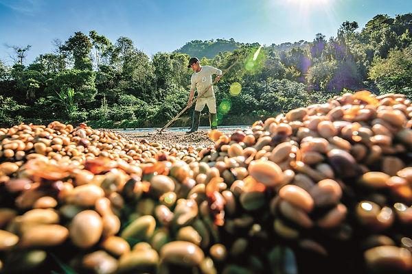 Kávéültetvényen dolgozó munkás - Frissen pörkölt szemes kávé rendelés