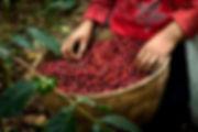 Kávé termést szüretelő lány, egy kosár kávéterméssel a kezében - Frisse pörkölt kávé rendelésre