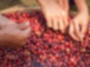 Kávé termés kézi válogatása szüret idején - Frissen pörkölt szemes kávé rendelés
