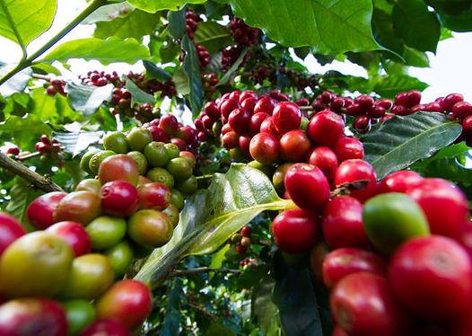 Kávé termés - Frisse pörkölt szemes kávé rendelés