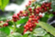 Kávécserje termése - Frissen pörkölt szemes kávé rendelés