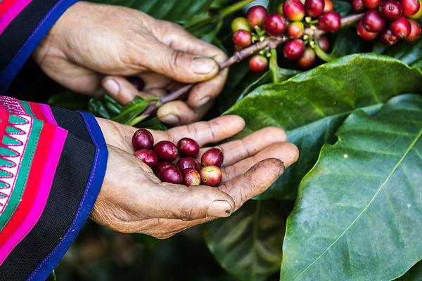 Kávé termés szüret - frissen pörkölt szemes kávé rendelés