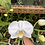 Thumbnail: White moth orchid (phalaenopsis)