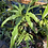 Thumbnail: anthurium pedatoradiatum 5 seeds