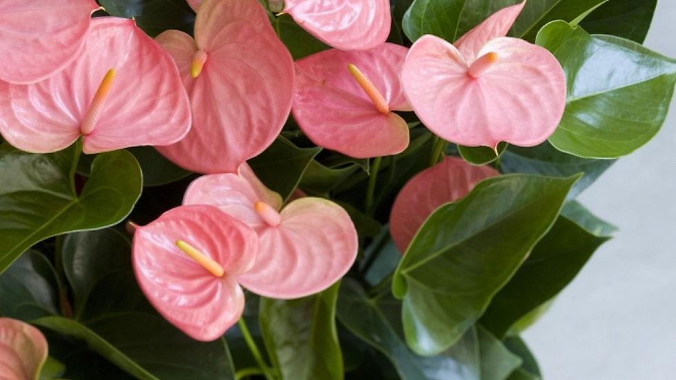 Anthurium pink Emma