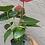 Thumbnail: Anthurium- Casanova (deep red)