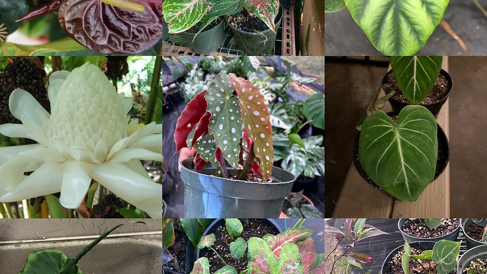Peace of aloha Plant club - 2 plants a month for 3 months