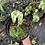 Thumbnail: Aurea Variegated frydek plant rooted