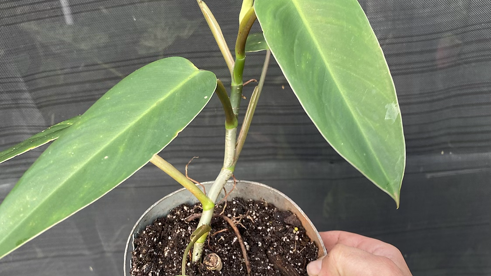 Philodendron- .- indoor house plant