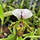 Thumbnail: White Lady slipper orchid ( cypripedium)