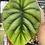 Thumbnail: alocasia clypeolata-( green shield )
