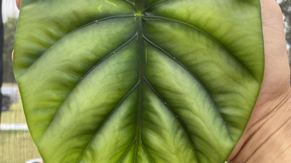 alocasia clypeolata-( green shield )