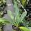 Thumbnail: Philodendron little Phil plant