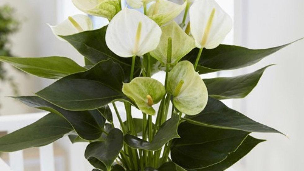 Anthurium- white winner