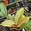 Thumbnail: Philodendron- pin cushion mini philo