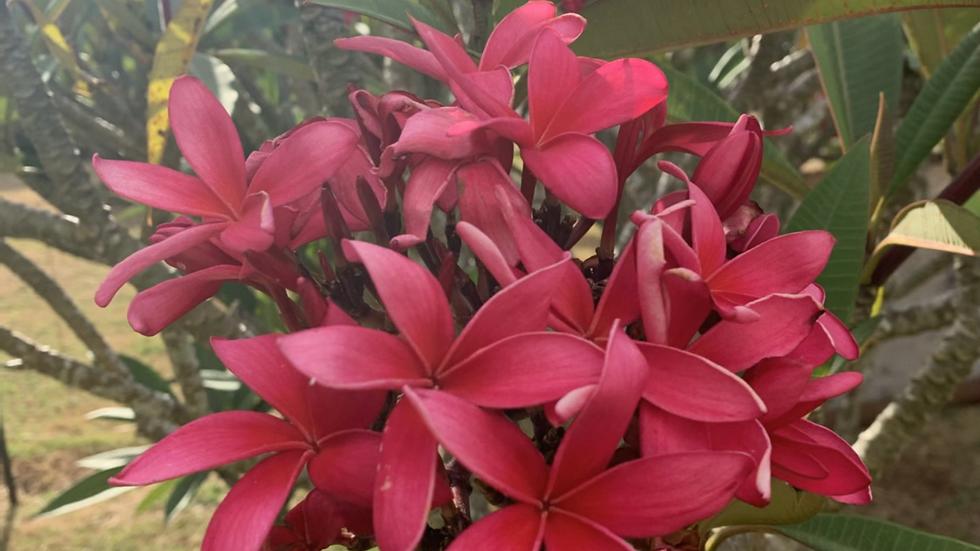 Maui dragon blood